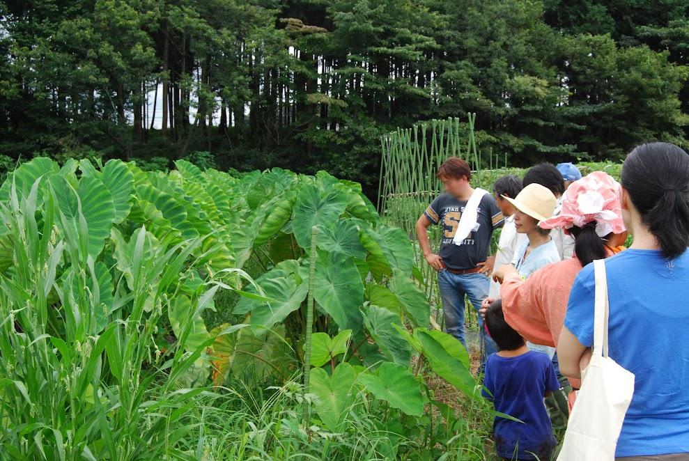 里芋。右端がセレベス、隣にタケノコ芋。他にも八頭と土垂(どだれ)があります