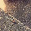 Orange Drummer Cicada