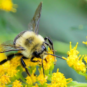 Bumble Bee & Goldenrod by Susan Hughes - Animals Insects & Spiders ( bumble bee, goldenrod,  )