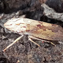Black flat-head leafhopper