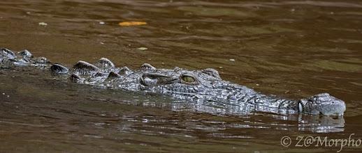 Photo: American Crocodile @ Rio Sierpe, Osa Peninsula