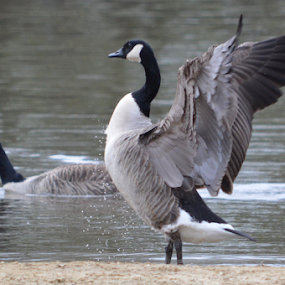 Goose by Iain Weatherley - Animals Birds (  )