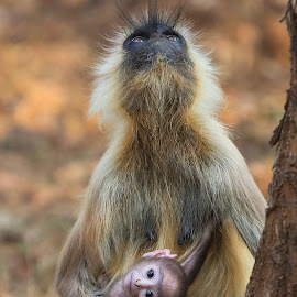 My mommy and me by Pratik Humnabadkar - Animals Other Mammals ( mommy, nature, baby, animals, langur, wildlife,  )