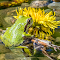 Tiny Green Tree Frog and Flower 22 04 18.jpg