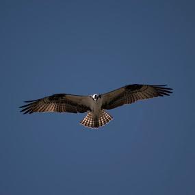 Osprey in Flight by Jeri Curley - Animals Birds ( fish hawk, flying bird, raptor, hawk, osprey,  )