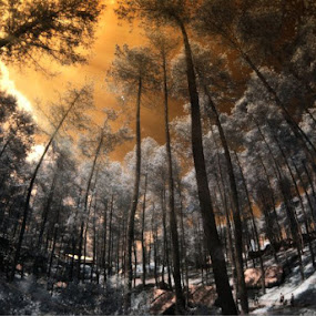 pinery by Sapto Nugroho - Landscapes Forests