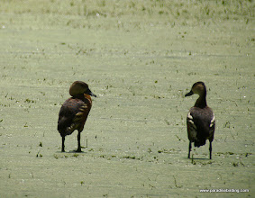 Photo: Wandering Whistling-Ducks, Kinabatangan