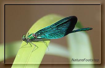 Photo: Blå jungfruslända - Calopteryx virgo - Beautiful Demoiselle