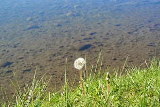 Photo: Dandelions are flowers too.