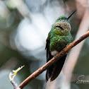 Golden-breasted Puffleg Hummingbird