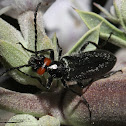 Red-eared Blister Beetle