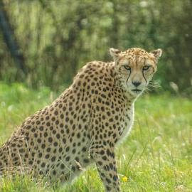 Cheetah by Garry Chisholm - Animals Lions, Tigers & Big Cats ( nature, mammal, cat, cheetah, garry chisholm )