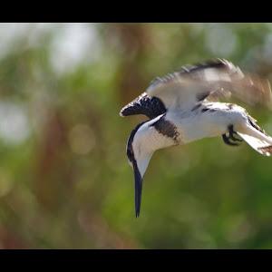 Pied Kingfisher Pixoto.jpg