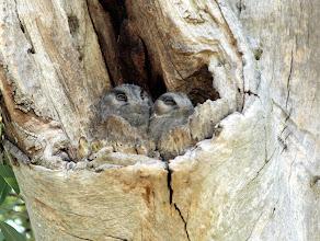 Photo: Australian Owlet-nightjars
