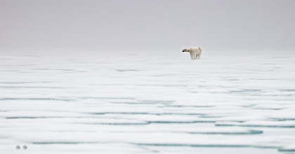"Photo: Polar Bear in the mist Svalbard, Norwegian Arctic From the kylefoto of the day at http://www.kylefoto.com  Scooting around in the fog in our zodiacs we were slicing through very thin sea ice up in the arctic. Always cognizant that a polar bear could be anywhere we were keeping a careful eye out. The best thing about travelling with other people is that what would be one pair of eyes is now 10 pairs scouring the misty veil that surrounds us. I was more concentrating on not hitting a large iceberg while driving the zodiac when someone exclaimed ""I saw a blob move over there!"" It took nearly a minute to fully locate this figure until it popped up from the surrounding white and stood out like an anvil on the horizon.  Photographic Details: It was relatively dark out there with the heavy fog obscuring a lot of the light. I bumped it up to ISO 200 to increase the sensitivity but used the slowest shutter speed and most open aperture I could. I knew I would have to process this image a lot to get the details back, and a higher ISO could present a bit of a problem in this regard as it degrades the image the higher I go  1/400s f/5.6 ISO200 400mm"