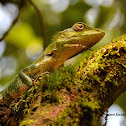 Nilgiri Forest lizard