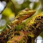 Nilgiri Forest lizard