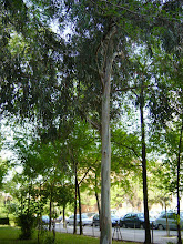Photo: Eucalipto (género Eucalyptus)