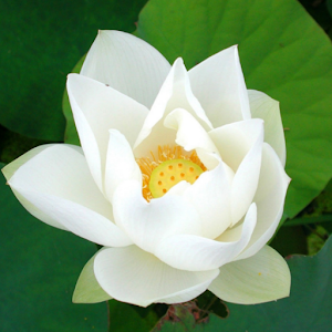 white lotus live wallpaper  android apps on google play, Beautiful flower