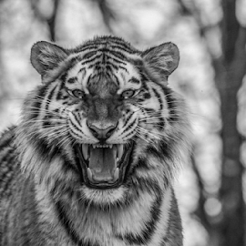 Grumpy by Garry Chisholm - Black & White Animals ( kent, big cat sanctuary, smarden, tiger, garry chisholm )