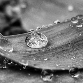 Raindrops by Lauren DeJarnatt Yoder - Nature Up Close Natural Waterdrops ( macro, b&w, black and white, raindrops, rain,  )