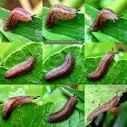 Leatherleaf slug