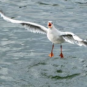 We Have Lift Off by Adrian Campfield - Animals Birds ( water, lakes, reflections, wildlife, feathers, rivers, birds, shadows, flight, black headed gull, nature, wings, action, wet )