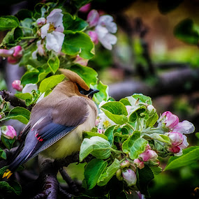 Waxwing by Glen Sande - Animals Birds ( tree blossoms, one eye, flowers, spring, birds, bird photography, waxwing,  )