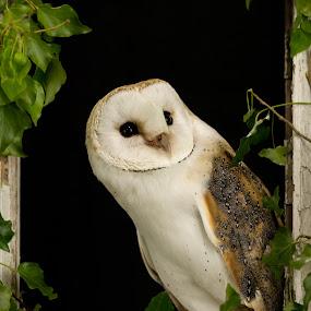 by Barry Smith - Animals Birds ( ornithology, bird of prey, owl,  )