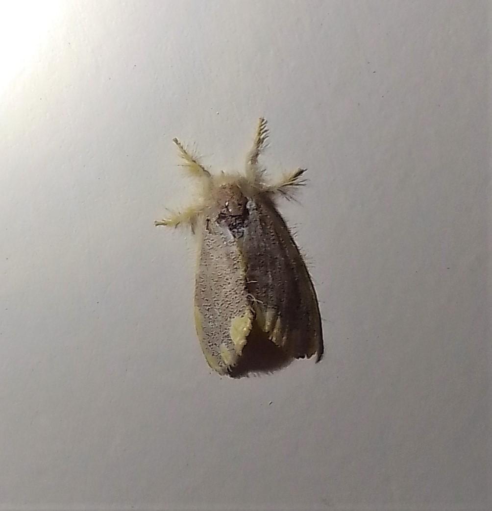 Yellow Tail Tussok Moth
