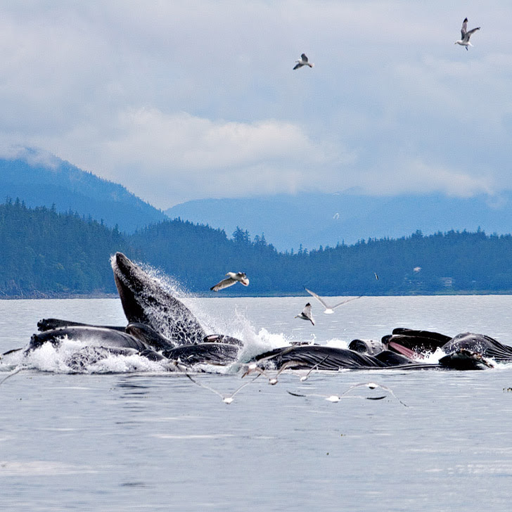 Alaska Whale Watching Season + 15 Best Places to Whale Watch in the US.