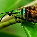 Metallic Moth