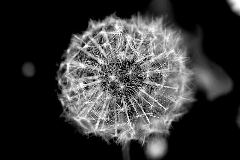 Dandelion di LaMony