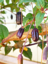 Photo: The fuschia produces edible fruit--another inspiration for the colors in the garden....