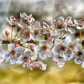 by Heather Aplin - Flowers Tree Blossoms (  )