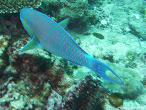 Photo: #022-Poisson-perroquet sur le site de Disco Reef-Club Med Kani.