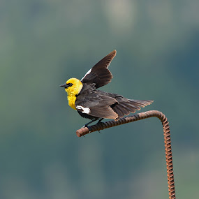 Yellow Headed Black Bird by Jennifer Parmelee - Animals Birds ( nature, marshes, colors, places, birds,  )