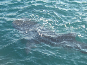 Photo: Wow, there's a whale shark right off the stern!