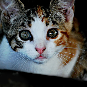 These Eyes by Colleen Rohrbaugh - Animals - Cats Portraits ( cats, pets, animals. eyes,  )