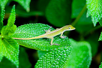 Photo: Green lizard
