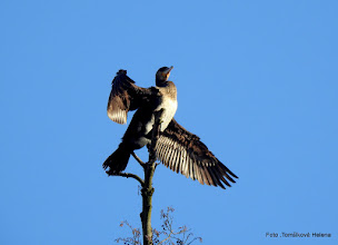 Photo: Kormorán velký (Phalocrocorax carbo)
