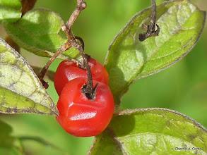 Photo: Nightshade fruit (Solanum dulcamara)
