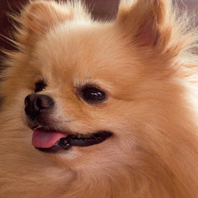 Pomeranian Portrait by Daniel Sasse - Animals - Dogs Portraits ( pom, bread, cute, dog, race, pomeranian )