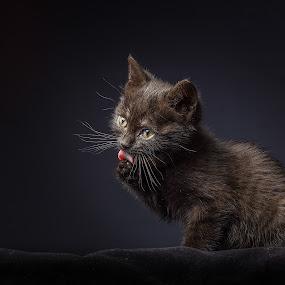 toilette time by Giovanni De Bellis - Animals - Cats Kittens ( toilette, studio lights, cat, tongue, kitty, black )