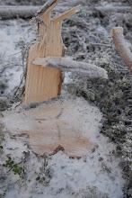 Photo: Stubbe efter avverkad gammelfura. Trädet var så grovt att sågen inte ens nådde igenom. Både Sveaskogs planerare och maskinföraren måste ha insett att sådana träd är naturvärdesträd. Men ingendera brydde sig. De vet ju att Skogsvårdslagen är frikopplad från Brottsbalken och att FSC är tandlöst.