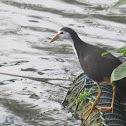 White-breasted Water Hen