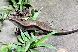 Photo: Year 2 Day 42 -  Lizard