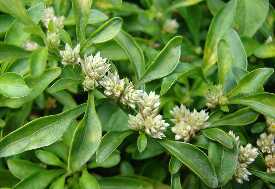 Альтернантера Бетзикиана (Alternanthera ficoidea)