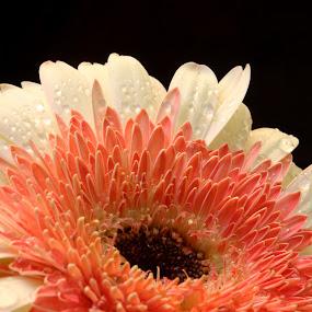 Gerberra by Benyamin Kristiawan - Nature Up Close Flowers - 2011-2013 ( white flower, beauty, beauty flower, gerberra, flower,  )