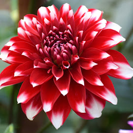 DAHLIA by SANGEETA MENA  - Flowers Flowers in the Wild (  )